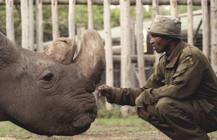 'Life imitates art': il rinoceronte bianco salvato dalla scienza, come avveniva in Star Trek