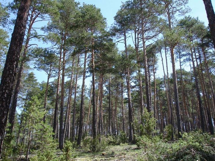 Quando la natura 'si morde la coda': pini scozzesi stressati dai cambiamenti climatici emettono troppi inquinanti